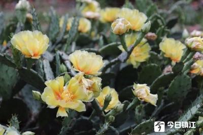 3片仙人掌几年窜了一大片 今年首次开花 一开开了30朵