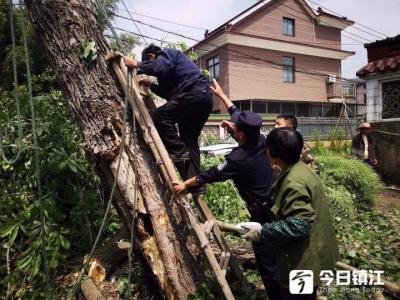 伐木工树顶作业时 脚卡树中无法动弹