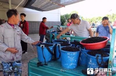 5000亩桑果今天开秤收购 镇江句容果农排起长队卖桑果