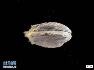 我科学家成功破译距今约3800年的古小麦全基因组