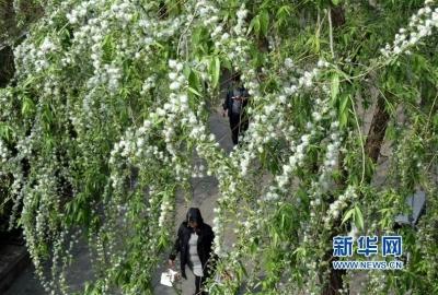 """400多棵杨柳树被打了""""节育""""针 明年有望大幅减少飞絮"""