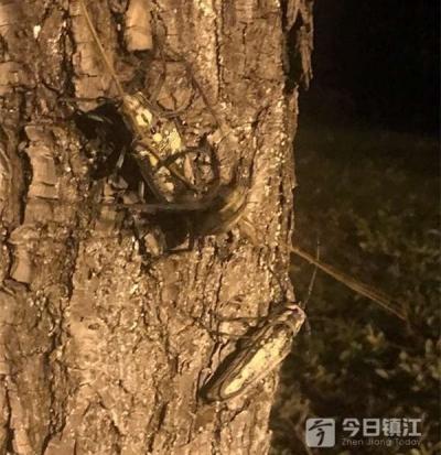 """这种成群结队挑柳树""""下嘴""""的天牛,让镇江滨水路上散步的市民很担心"""
