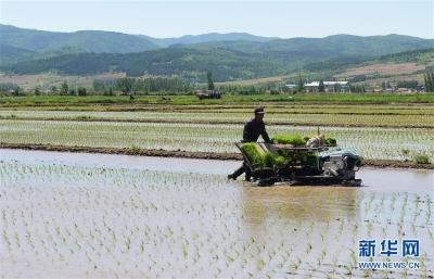 江苏夏收基本结束:小麦机收率达98%,水稻播栽约六成