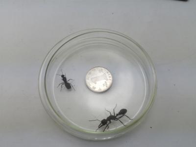 """身长堪比一元硬币直径!青岛海关查获澳洲""""巨无霸""""宠物蚂蚁"""