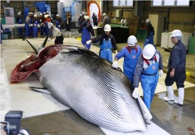 非吃不可?日本恢复捕鲸,大批鲸肉积压却无人问津