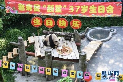 世界现存最年长大熊猫迎来37岁 相当人类百岁以上