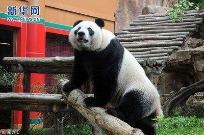 """旅比大熊猫""""好好""""产下龙凤胎"""