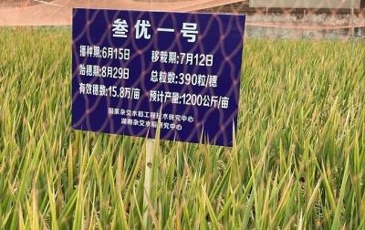 第三代杂交晚稻亩产突破1000公斤 袁隆平:很满意