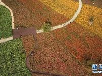 秋日花海荡漾