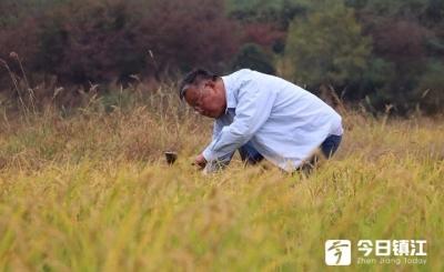 """农业专家赵亚夫指导种植的""""再生稻""""迎来第二次开镰"""