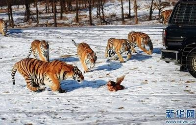 跨境联手保护东北虎豹 中俄签署三年合作计划