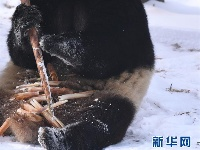 """大熊猫雪后""""撒欢"""""""