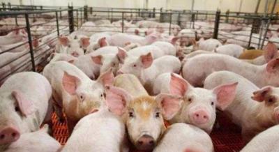 中国团队首次解析非洲猪瘟病毒全颗粒三维结构
