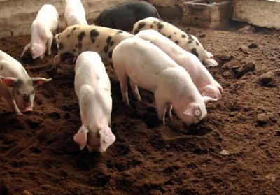 """""""猪脸识别""""了解一下?农户也能""""见猪下菜碟"""""""