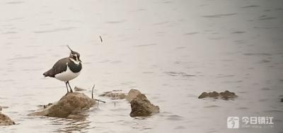 """大批候鸟迁徙赤山湖国家湿地公园 珍稀鸟类""""白琵鹭""""现身"""