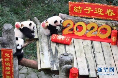 大熊猫宝宝闹新春