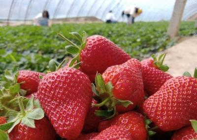 种植户新鲜草莓支持抗疫