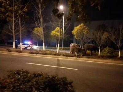 新区民警深夜寻牛群失主