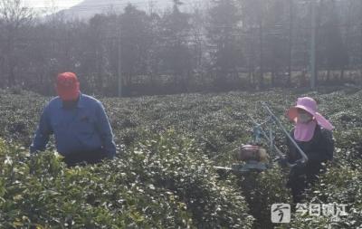 """防疫和复工""""两不误"""" 镇江各大茶场积极备战春茶开采"""