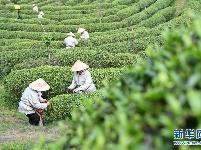 春茶节线上开采