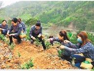 安吉白茶跨省扶贫情况调查
