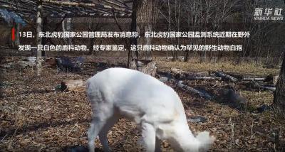 中国发现罕见野生动物白狍
