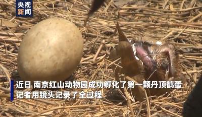 南京红山动物园迎来一对丹顶鹤宝宝 镜头记录破壳全过程