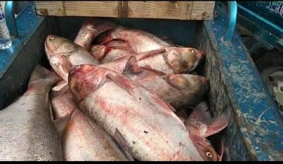 丹徒宝堰一渔民 一网捕了150多公斤大鲢鱼