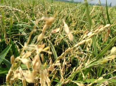 群鸟与村民争夺丰收果实 400多亩早稻被野鸟啄食