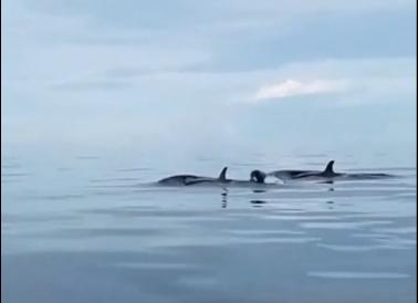 菲律宾薄荷岛附近海域再次出现虎鲸