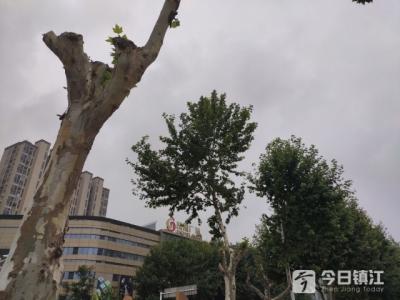 十字路口6棵法国梧桐遭人偷伐 执法人员呼吁市民提供线索