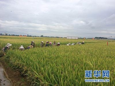 杂交水稻新技术实现全程机械化制种
