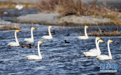候鸟天堂乌伦古湖湿地公园
