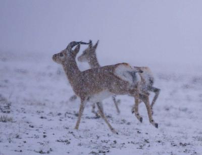 看!藏羚羊、牦牛、野驴……这里是羌塘草原!