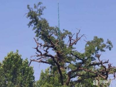 看,20多米高的古树名木安上了避雷针