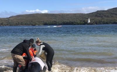 澳大利亚塔斯马尼亚州西海岸发生大规模鲸鱼搁浅