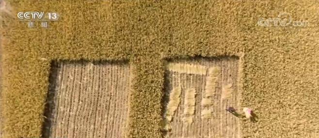 新疆喀什:海水稻再获丰收 亩产超千斤
