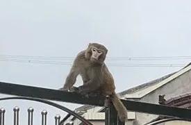 """泼猴""""大闹村庄,咬伤数人!句容警方紧急出动,成功将其""""捉拿归案""""!"""