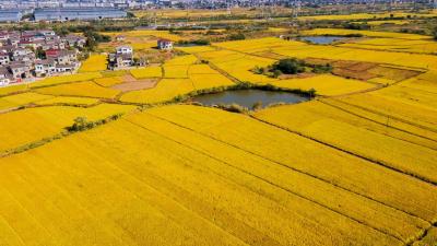 丹徒万亩优质稻米喜获大丰收 乡村振兴走上绿色发展特色路