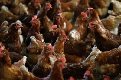 荷兰养鸡场出现禽流感