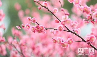 遇见中国:腊梅迎春开