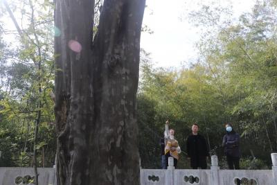 """句容八百多年木瓜树""""逢春""""又花开     专家""""把脉问诊""""古树保护再升级"""