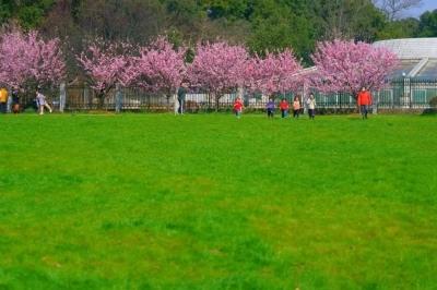 武汉樱花何时能够大规模开放?预计3月中旬左右