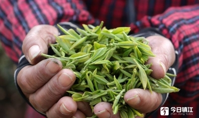 比往年提前10天!句容今春首批新茶开采了