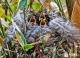 红头长尾山雀幼鸟出巢,市民小区拍到难得视频