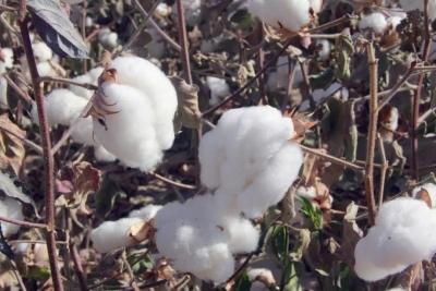 新疆棉花为啥好?原来,跟气象条件有关