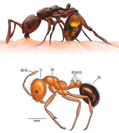 红火蚁位列全球最危险入侵物种 已传播至10余省份