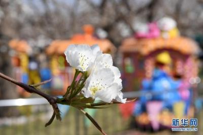 梨園花開引客來