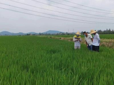 市农科院水稻病虫害绿色防控技术 助力水稻安全生产