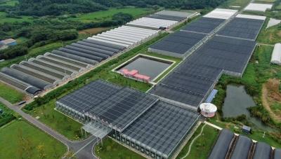 """句容5000亩草莓移栽  """"新品种+新技术+新模式""""助力果农提质增效"""